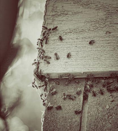 bees1_Snapseed