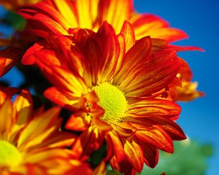 sunflowery1