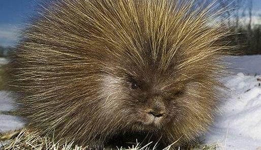 porcupine_canadian_02